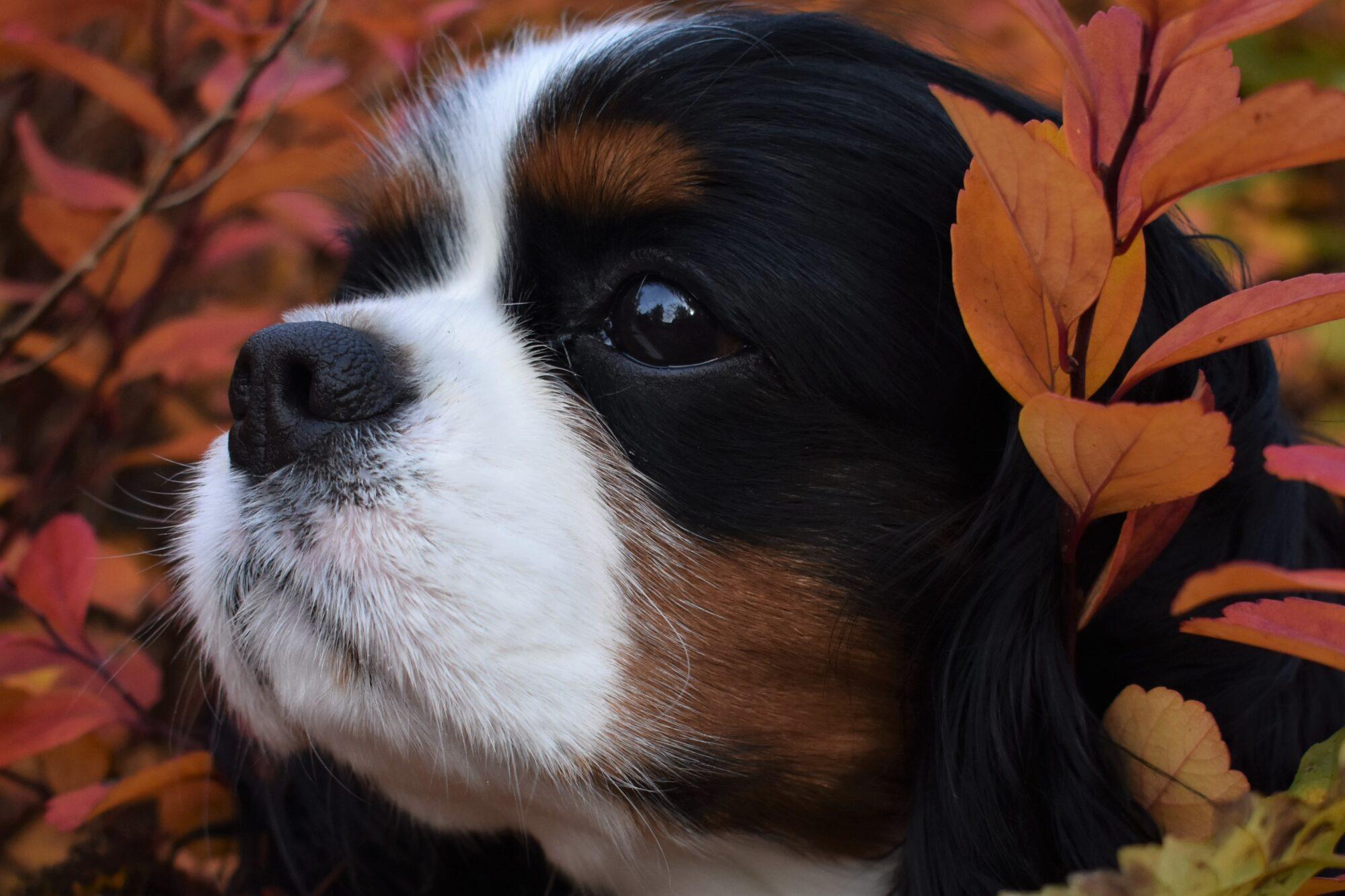 Cute Cosmo the Cavalier